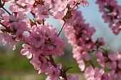 dekorativnyy-mindal-rozovoe-velikolepie-vashego-sada-79589.jpg