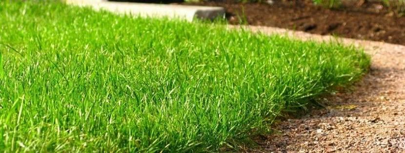 неприхотливый газон