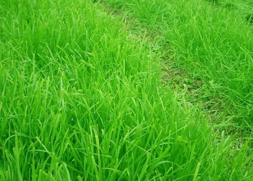 теневыносливая трава для газона
