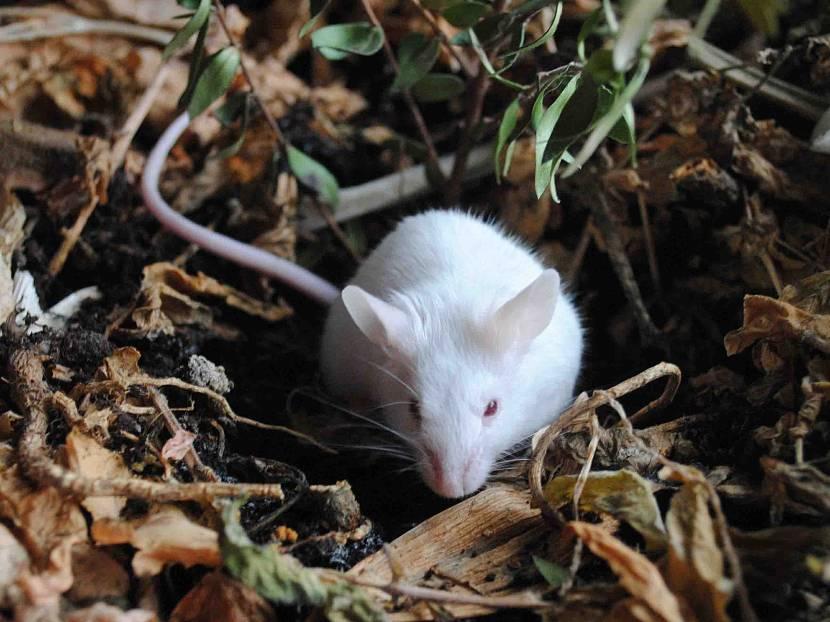 Мыши не любят воду
