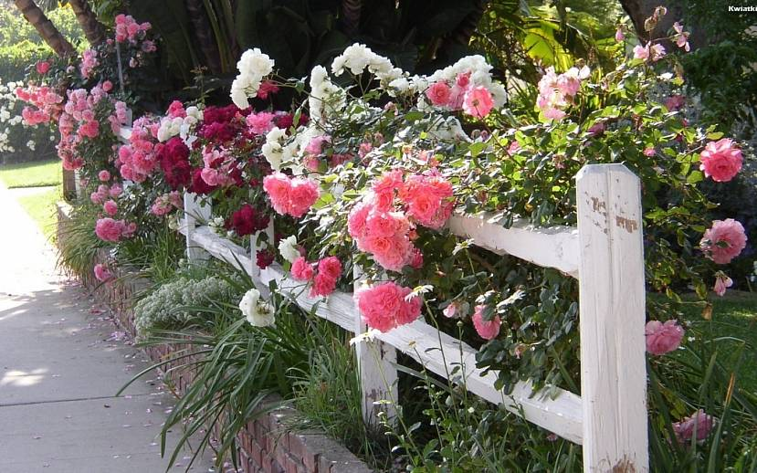 Клумба с розами рядом с забором