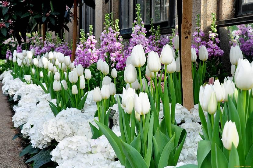 Тюльпаны для дачной клумбы