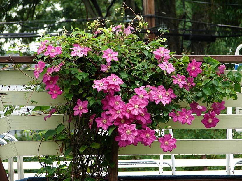 Клематисы розовые
