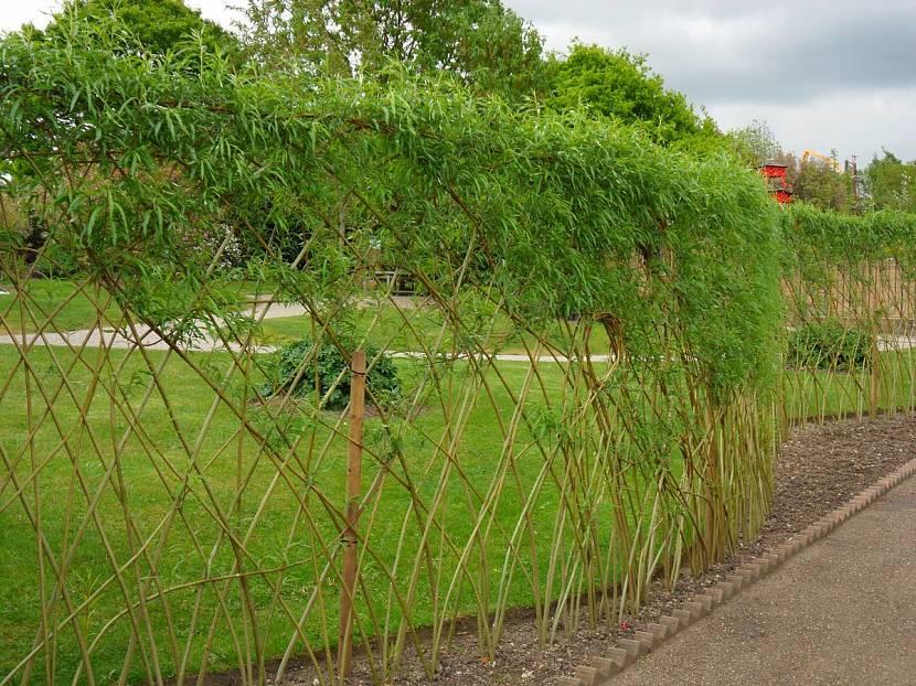 Изгородь из живых прутьев ивы