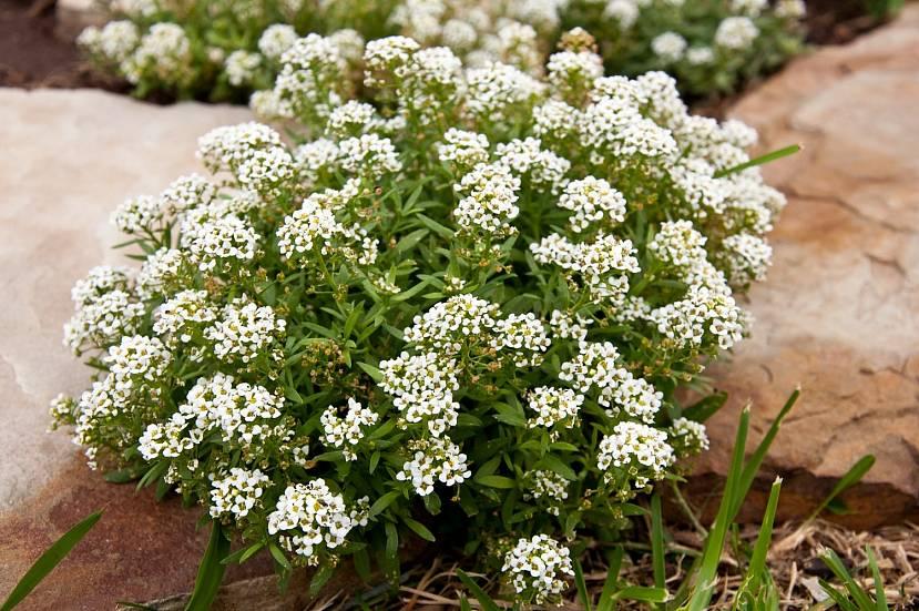 Ассиум — многолетнее растение