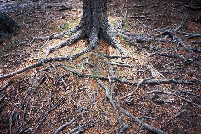 У хвойных пород корневая система располагается поверхностно