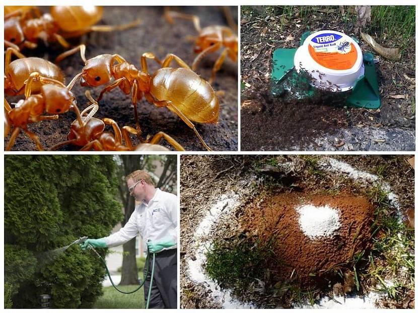 Как бороться с муравейниками