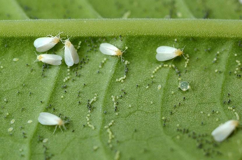 Личинка вредителей