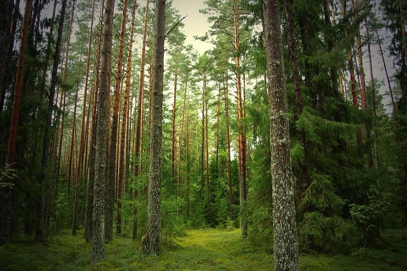 В еловом лесу хорошо чувствуют себя больные астмой
