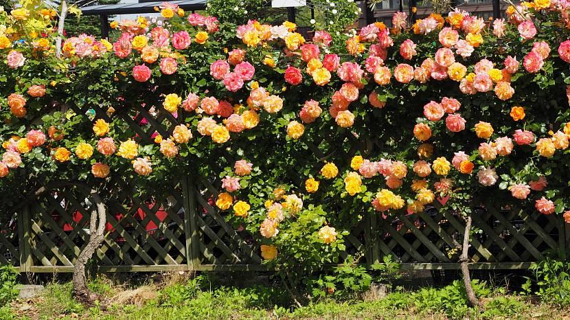 Плетистые розы вдоль изгороди