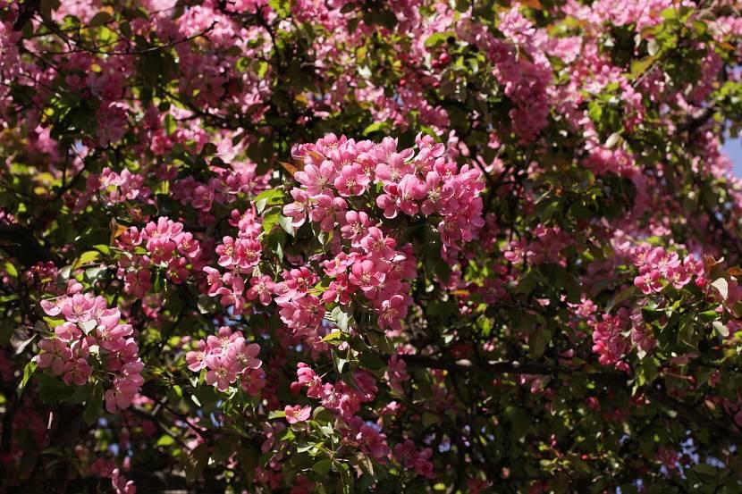 Цветение яблони