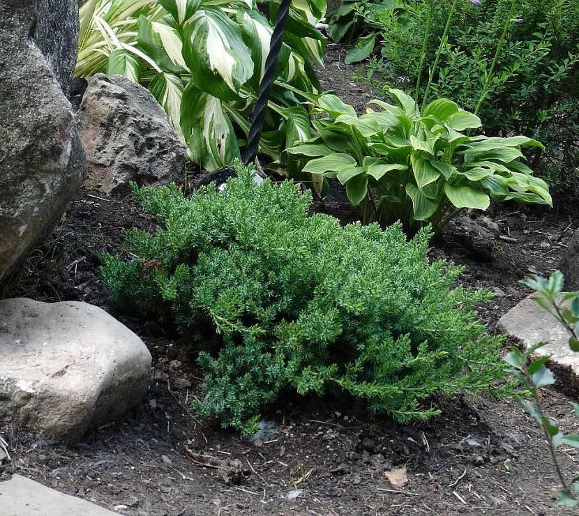 Кустарниковые для заполнения растительностью альпийских горок