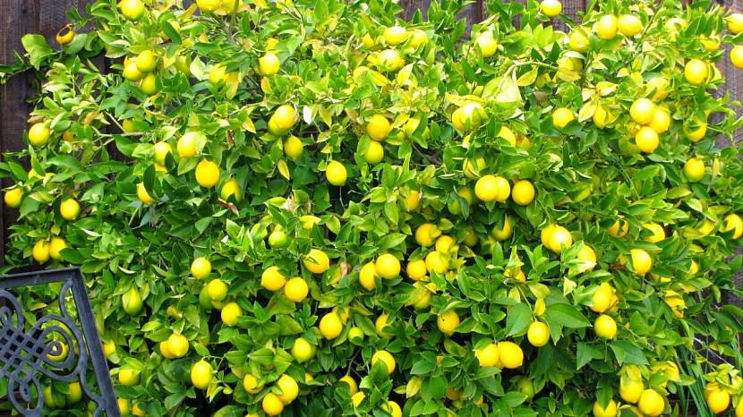 Лимонник с цитрусовым ароматом