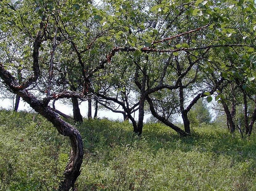 Деревья с темной корой