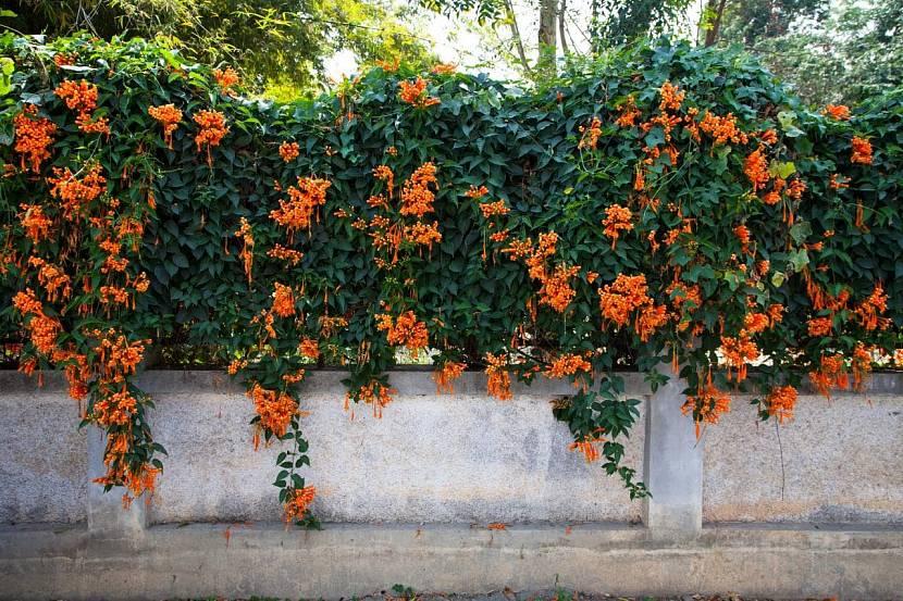 Цветущее растение на заборе