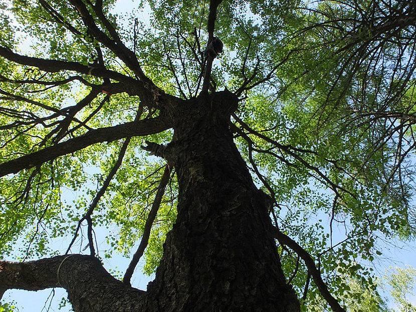 Темное раскидистое дерево