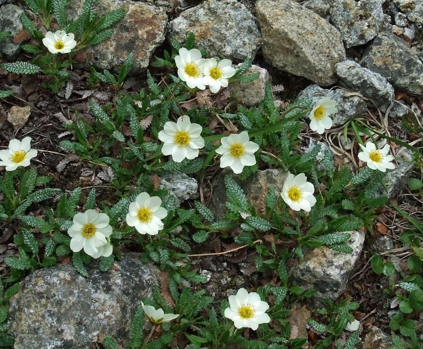 Цветы для дизайна альпийских горок