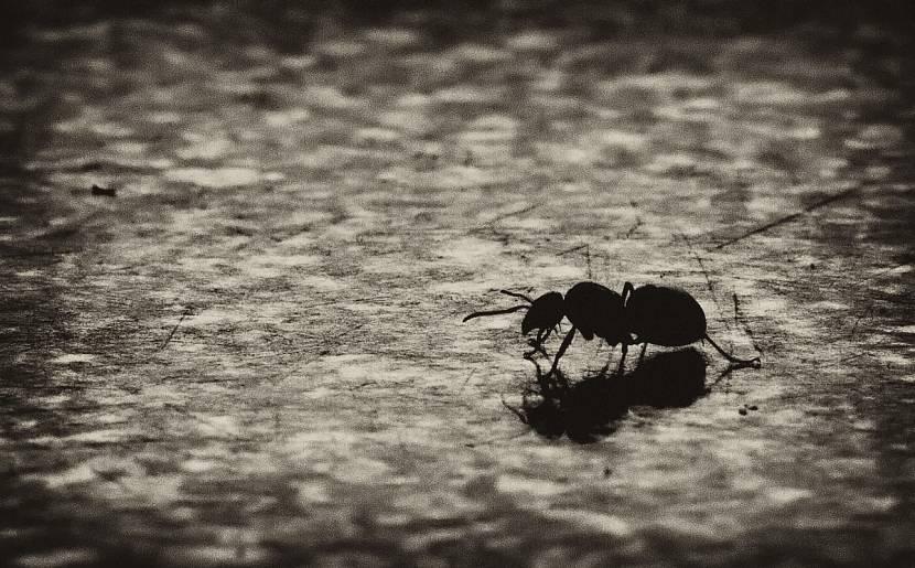 Муравьи не любят тень