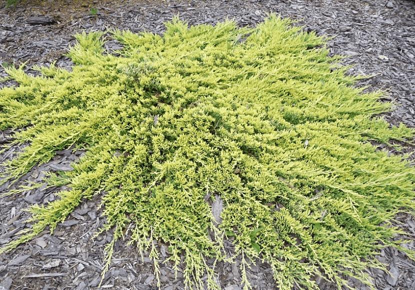 Можжевельник Golden Carpet