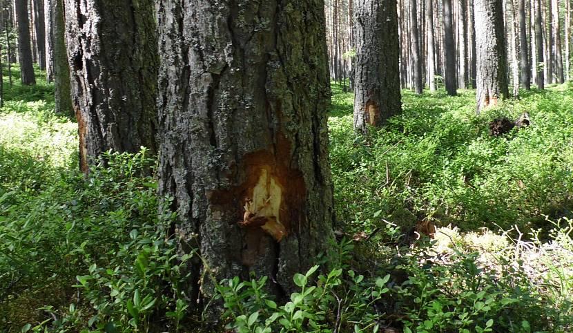 Зарубка на дереве