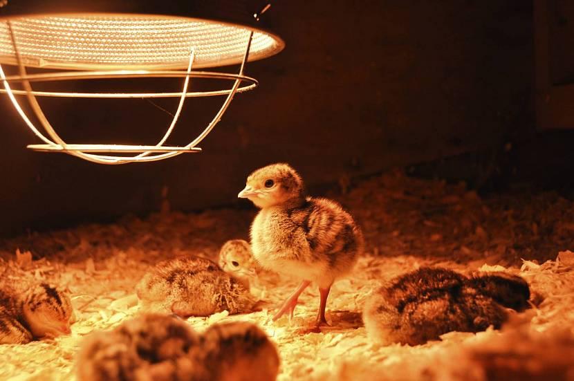 Цыплята возле лампы