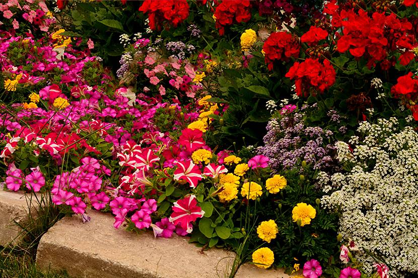 все вербена фото цветов на клумбе с другими цветами фото ландшафт работа липецке, представляет