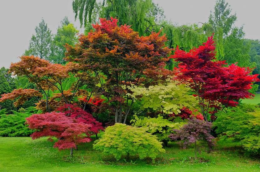 Красные клёны в саду