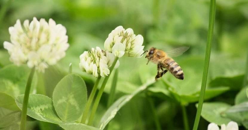 Пчелы на клевере