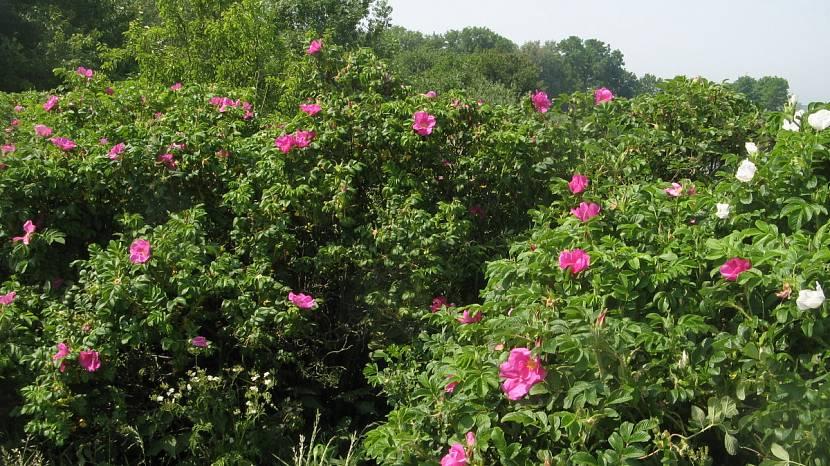 Живая изгородь из кустарника шиповника