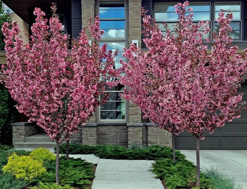 Красивое цветение миндаля