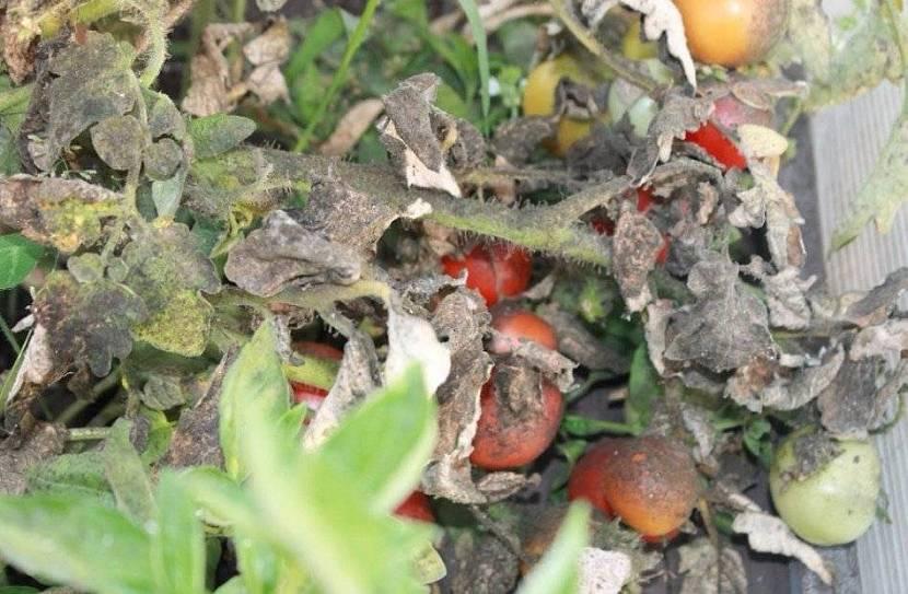 Съеденный куст томата