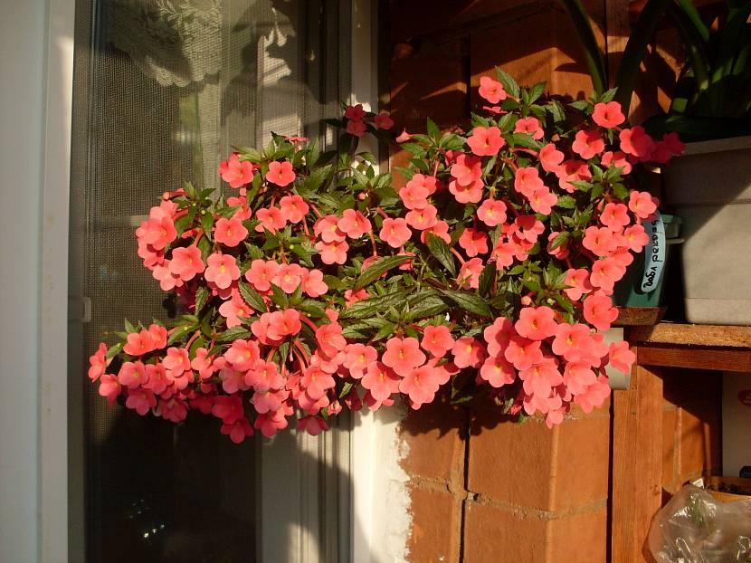 Бальзамин с красивыми розовыми лепестками