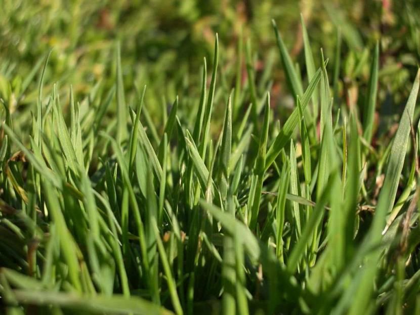низкорастущий газон