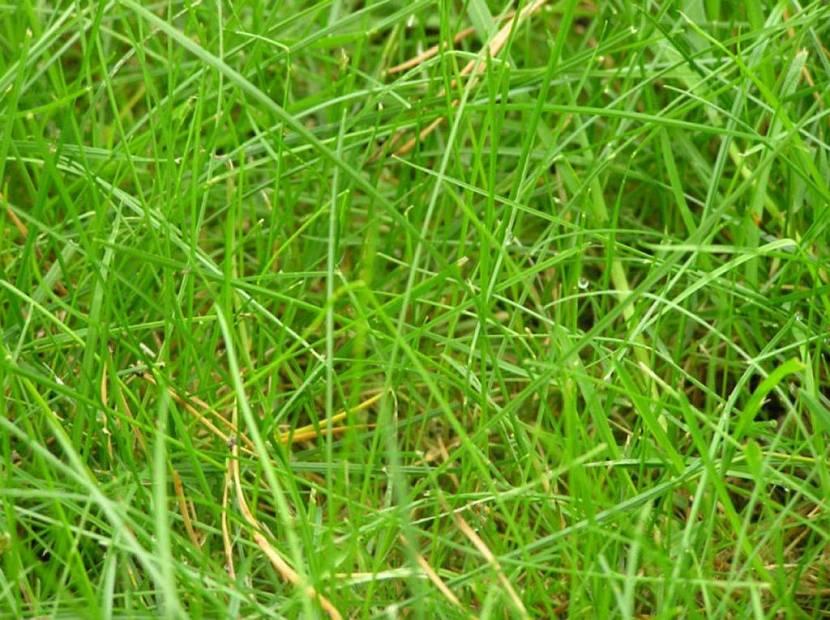 газон карлик